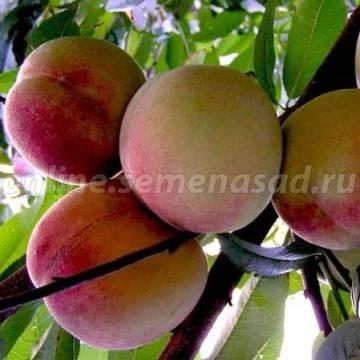 Персик Гринсборо (ранний, зеленовато-кремовый с ярко-малиновым румянцем в виде штрихов)