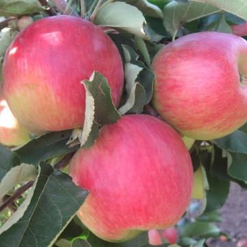 Яблоня Мелба  (позднелетний, светло-зеленый с красным полосатым румянцем)