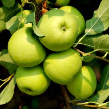 Яблоня колонновидная Статистика (поздний, зеленый)