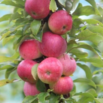 Яблоня колонновидная Арбат (раннеосенний, бордово-красный блестящий)