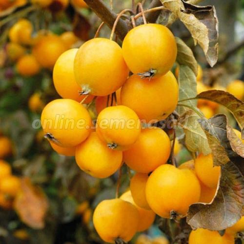 Яблоня Китайка золотая ранняя (раннелетний, янтарно-желтый)