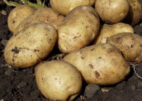 Картофель Артемис (Элита)