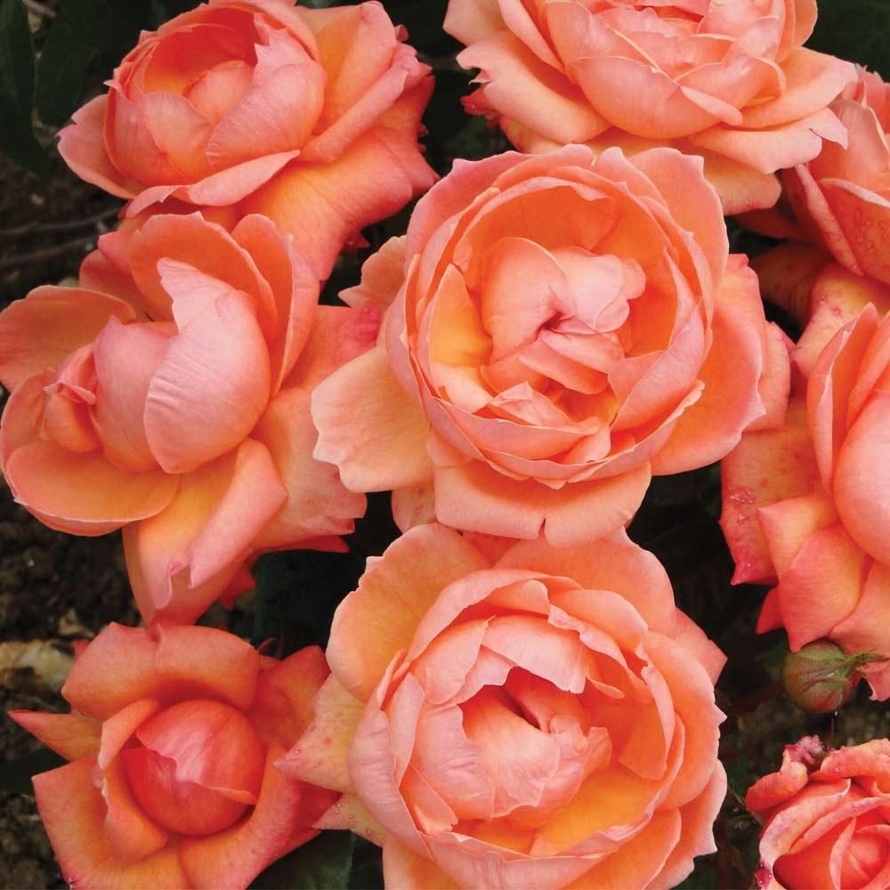 сне розы цвета лосося фото всегда