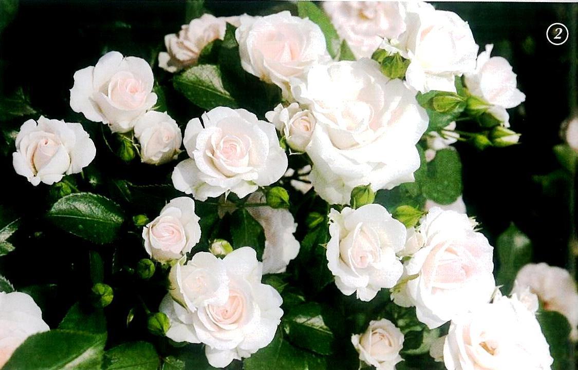роза аспирин фото и описание кстати